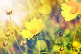 Yellow flowers with sunshine over natural background — Stock Photo