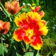 Wide open tulip — Stock Photo #13705234