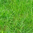 Grass texture — Stock Photo #13705714