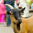 Goat on the street - Stock Photo