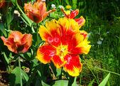 Wide open tulip — Stock Photo
