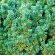 Blue pine - Stock Photo