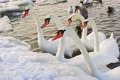 Five white swans — Stock Photo