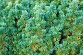 Blauwe pine — Stockfoto