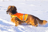 Dachshund in vest on winter hunting — Stock Photo