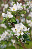 Branch of blossoming apple tree — Stock Photo
