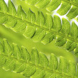List Of Ferns — Stock Photo