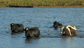 Cows Crossing the Water — Stock Photo