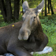 Moose cow — Stock Photo #14621197