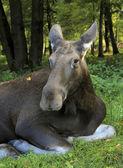 Moose cow — Stock Photo