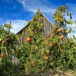 Herbst Tomaten-patch — Stockfoto