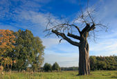 Honourable Old Apple Tree — Stock Photo