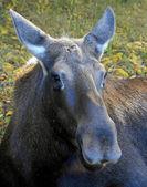 Moose Cow — Стоковое фото