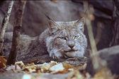 """""""Gaze Of The Lynx"""" — ストック写真"""