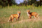 Red Fox Pups — Stock Photo