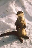 Winter River Otter — Stock Photo