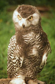 Juvenile Snowy Owl — Stock Photo