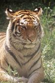 Tigre de sibérie jeune — Photo