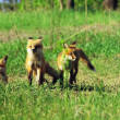 """Fox Pup Trio"" — Stock Photo #12806656"