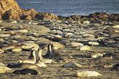 Elephant Seal Extravaganza — Stock Photo