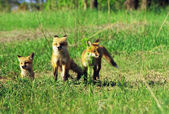 """Fox Pup Trio"" — Photo"