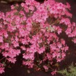 Stock Photo: Northern Lights Azalea