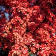 Red Flowering Crabapple