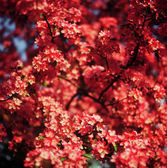 Red Flowering Crabapple — Stock Photo