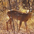 Whitetail Deer Inquiry — Stock Photo
