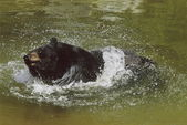 Bear Pond Splashing — Stock Photo