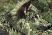 Young Wolf Portrait — Stock Photo