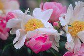 Peony Blossom Expression — Stock Photo