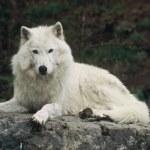 Постер, плакат: Wistful Arctic Wolf