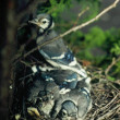 Blue Jay Nestlings and Parent — Stock Photo