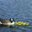 Canada Goose Brood — Stock Photo