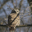 Barred Owl Retrospect — Stock Photo