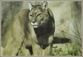 Solitary Cougar Intensity — Stock Photo