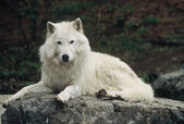 Wistful Arctic Wolf — Stock Photo