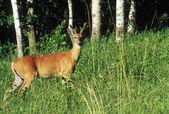 Whitetail Buck In Summer — Stock Photo