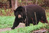 World's Largest Black Bear — Stockfoto