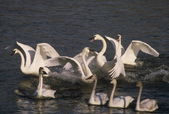 Trumpeter Swans - Preparation For Takeoff — Stock Photo
