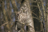 Barred Owl Cameo — Stock Photo