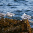 Ringbilled Gull Retreat — Stock Photo