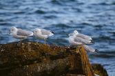 Ringbilled Gull Retreat — Stock Photo
