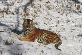 Winter Tiger Reposed — Stock Photo