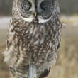 Pole Sitter - Great Gray Owl — Stock Photo