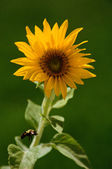 Bumblebee and Sunflower — Fotografia Stock