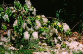 Fallen Cottonwood Seed Clumps — Stock Photo