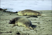 Young Elephant Seals on Beach - San Simeon, California — Foto de Stock
