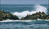 Harbor Seals and Cormorants Atop Wave-Splashed Rocks - California — Stock Photo